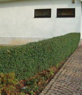 Schwarzgrüner Liguster &#39Atrovirens&#39, 1 Pflanze Ligustrum vulgare Atrovirens Heckenpflanze