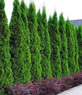 Thuja occidentalis Smaragd Lebensbaum,1 Pflanze Thujahecken