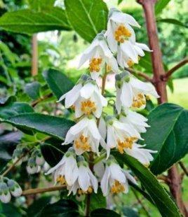 Schöne Deutzie,1 Pflanze