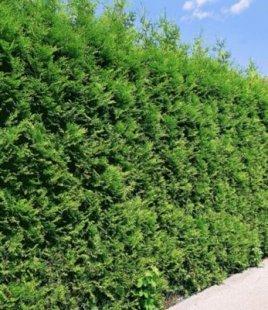 Thuja Lebensbaum ´´Brabant´´,1 Pflanze Thuja occidentalis Brabant Thujahecke