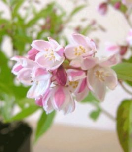 Erdbeeren-Duft-Deutzie, 1 Pflanze, Deutzia hybrida &#39Strawberry Fields&#39