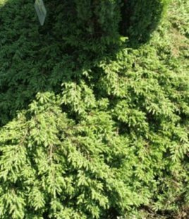 Bodendecker Kriech-Wacholder &#39Green Carpet&#39, 1 Pflanze Juniperus communis