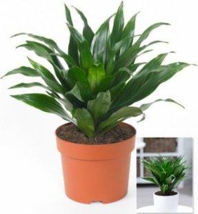 Dracena ´´Compacta´´,1 Pflanze
