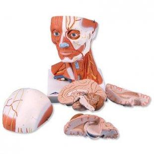 3B Scientific Muskelkopf, 5-teilig