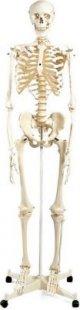 3B Scientific Skelett A10 ´´Stan´´ Anatomiemodell