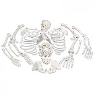 3B Scientific Skelett, unmontiert, komplett mit 3-teiligem Schädel