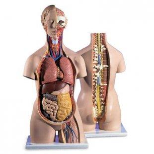 3B Scientific Geschlechtsloser Klassik-Torso mit geöffnetem Rücken, 18-teilig