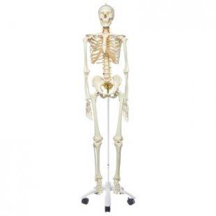3B Scientific Skelett Fred A15, das flexible Skelett auf Metallstativ mit 5 Rollen