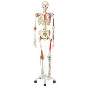3B Scientific Skelett Sam A13 - Luxusversion auf Metallstativ mit 5 Rollen