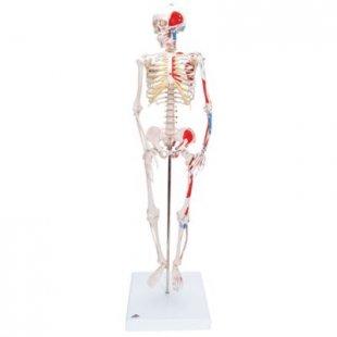3B Scientific Mini-Skelett Shorty mit Muskelbemalung, auf Sockel A18