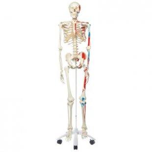3B Scientific Skelett Max A11 mit Muskeldarstellung, auf Metallstativ mit 5 Rollen