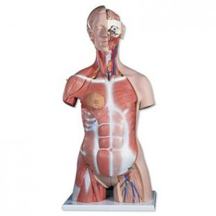3B Scientific Zweigeschlechtiger Luxus-Muskel-Torso, 31-teilig