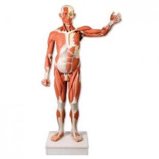 3B Scientific Lebensgroße männliche Muskelfigur, 37-teilig