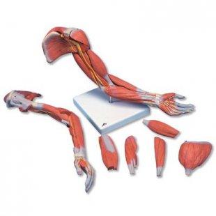 3B Scientific Muskelarm, 6-teilig