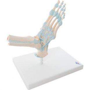 3B Scientific Modell des Fußskeletts mit Bändern M34
