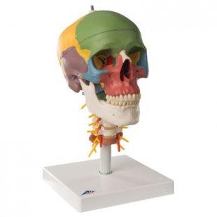 3B Scientific Didaktik-Schädel auf Halswirbelsäule, 4-teilig A20/2