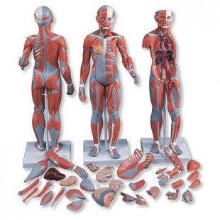 3B Scientific Muskelfigur, zweigeschlechtig mit inneren Organen, 33-teilig