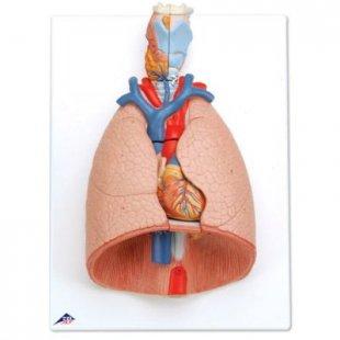 3B Scientific Lunge mit Kehlkopf, 7-teilig