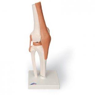 3B Scientific Kniegelenk-Funktionsmodell