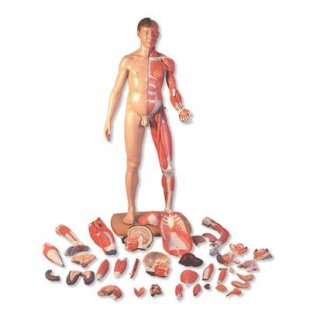 3B Scientific Lebensgroße zweigeschlechtige Muskelfigur, asiatisch, 39-teilig